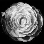 Camellia, Flora Series