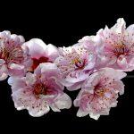 Spring Blossoms Ltd Ed Print