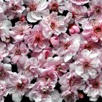Blossoms Ltd Ed Print
