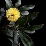 Banksia Sentinel Ltd Ed Print