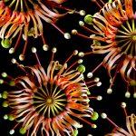 Firewheel Flower Collage Ltd Ed Print