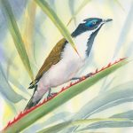 Bluefaced Honeyeater Amidst the Palms