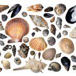 Seashells by the Seashore – White Ltd Ed Print