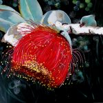 Gumnut Beauty – Australian Native Flower