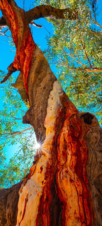 Twisted Gum Tree Trunk Bark Northern Territory Australia Fine Art Photography Nick Psomiadis